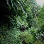 Fajã_do_Meio,_caminhos,_exuberância_da_vegetação_das_florestas_da_laurissilva,_típica_da_Macaronésia_e_características_das_fajãs_da_ilha_de_São
